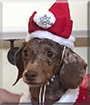 Truffles the Miniature Dachshund
