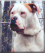 Kyser the American Bulldog