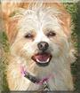 Bella the Terrier mix