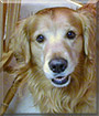 Jasper the Golden Retriever