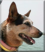 Bijou the Australian Cattle Dog