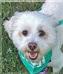 Cooper the Poodle, Shih Tzu mix