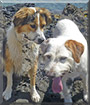 Snoopy the Hunting Dog mix and Jacky the Border Collie mix
