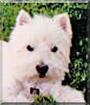 Shanter the West Highland White Terrier