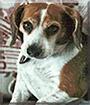Abigial the Beagle