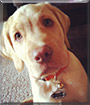 Tazer the Labrador Retriever