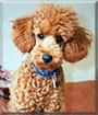 Bubbles the Miniature Poodle
