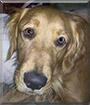 Shelby the Golden Retriever