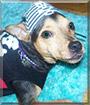 Koko the Manchester Terrier