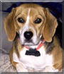 Sammi the Beagle