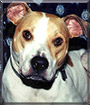 Emma the American Staffordshire Terrier,