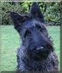 Lulu the Scottish Terrier