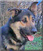 Yago the German Shepherd mix