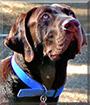 Buddy the Labrador Retriever, Great Dane mix