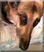 Dezi the German Shepherd Dog