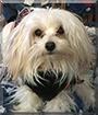 Bridget the Maltese, Poodle mix