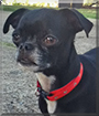 Miracle the Chihuahua, Pug mix