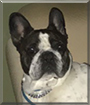 Bodie the French Bulldog