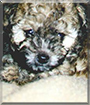 Maverick the Toy Poodle