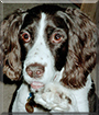 Max the English Springer Spaniel