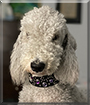 Bedlam the Bedlington Terrier