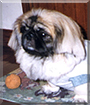 Keropi the Pekingese