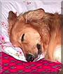 Peanut the Shetland Sheepdog, Golden Retriever mix