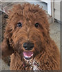 Bailey the Irish Setter, Poodle mix