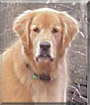 Cody the Golden Retriever