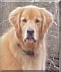Cody the Golden Retriever