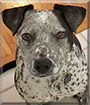 Zeplyn the Cattle Dog, Pitbull Mix