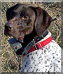 Thor the German Shorthair Pointer