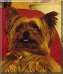 Troy the Yorkshire Terrier