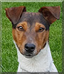Luggi the Smooth Fox Terrier