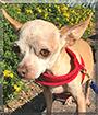 Churro the Chihuahua