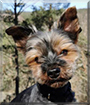 Adi the Yorkshire Terrier
