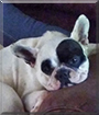 Minnie the French Bulldog