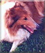 Solomon the Rough Collie