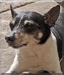 Alex the Rat Terrier