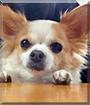 Tory the Chihuahua
