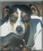 Little Bit the Dachshund, Jack Russell Terrier mix