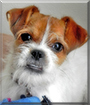 Sookie the Jack Russell Terrier mix