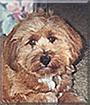 Banjo the Tibetan Terrier