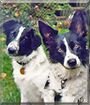 Maggie and Tasha the Border Collies