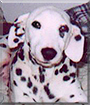 Anabelle the Dalmatian