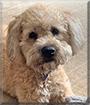 Sadie the Wheaten Terrier