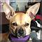 Pixie the Chihuahua
