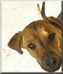 Elka the Golden Dog