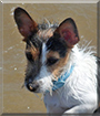 Jack the Jack Russell Terrier