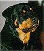 Taz the Rottweiler